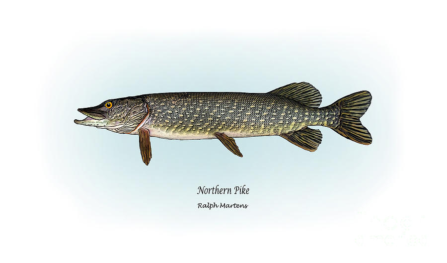 900x529 Northern Pike Painting By Ralph Martens