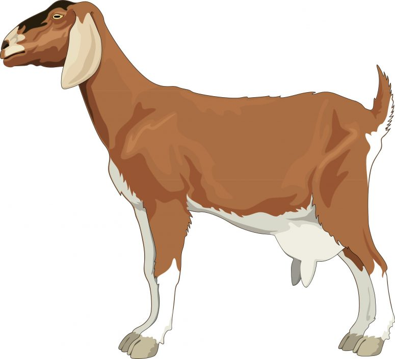 775x705 Best Nubian Goat Vector File Free Free Clip Art Designs, Icons