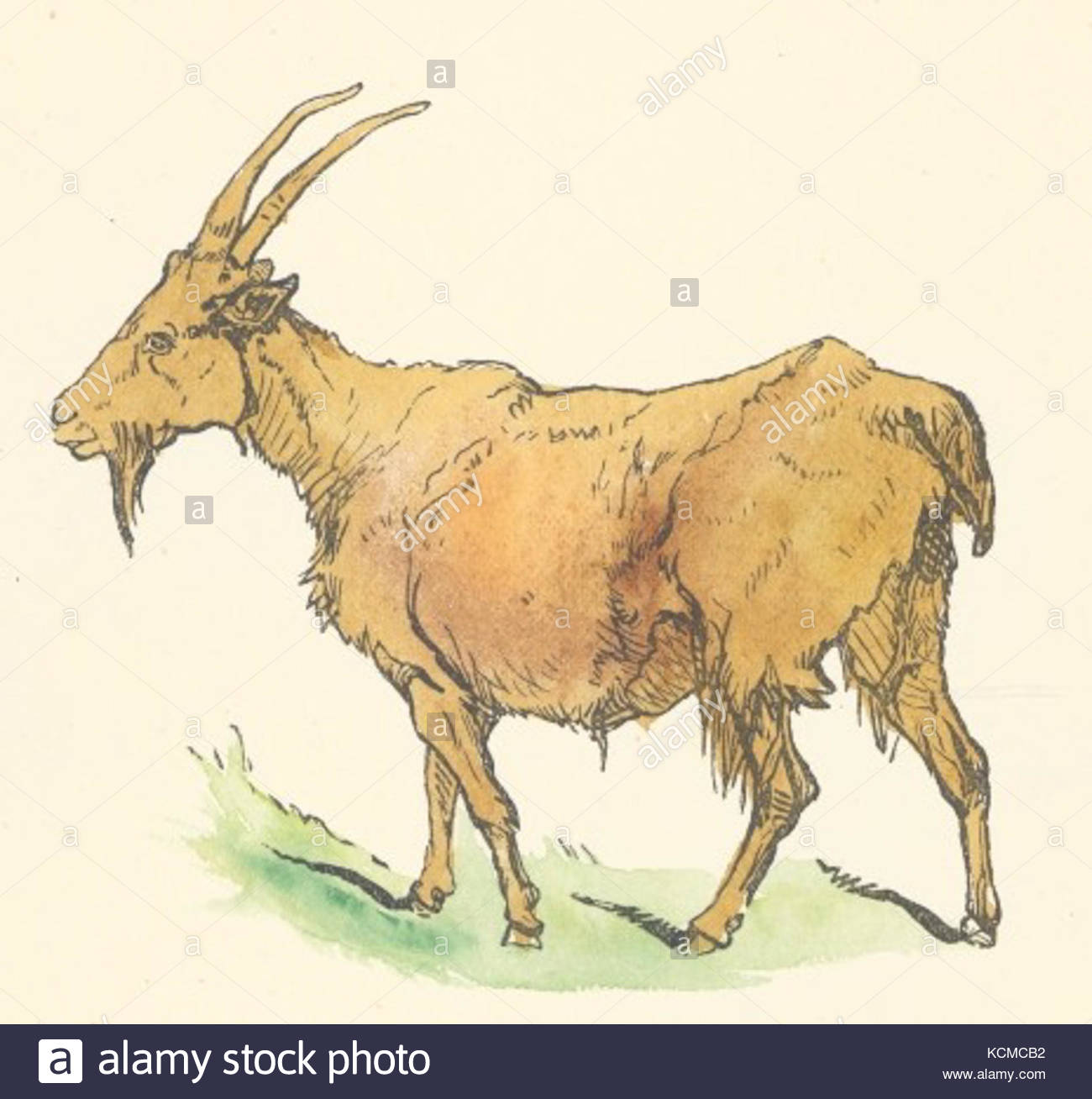 1300x1308 Goat Drawing Stock Photos Amp Goat Drawing Stock Images