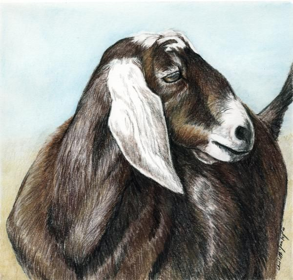 600x574 Nubian Goat Painting By Charlotte Yealey