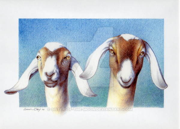 600x431 Pencil Drawing Nubian Goats By Sister Of The Moon