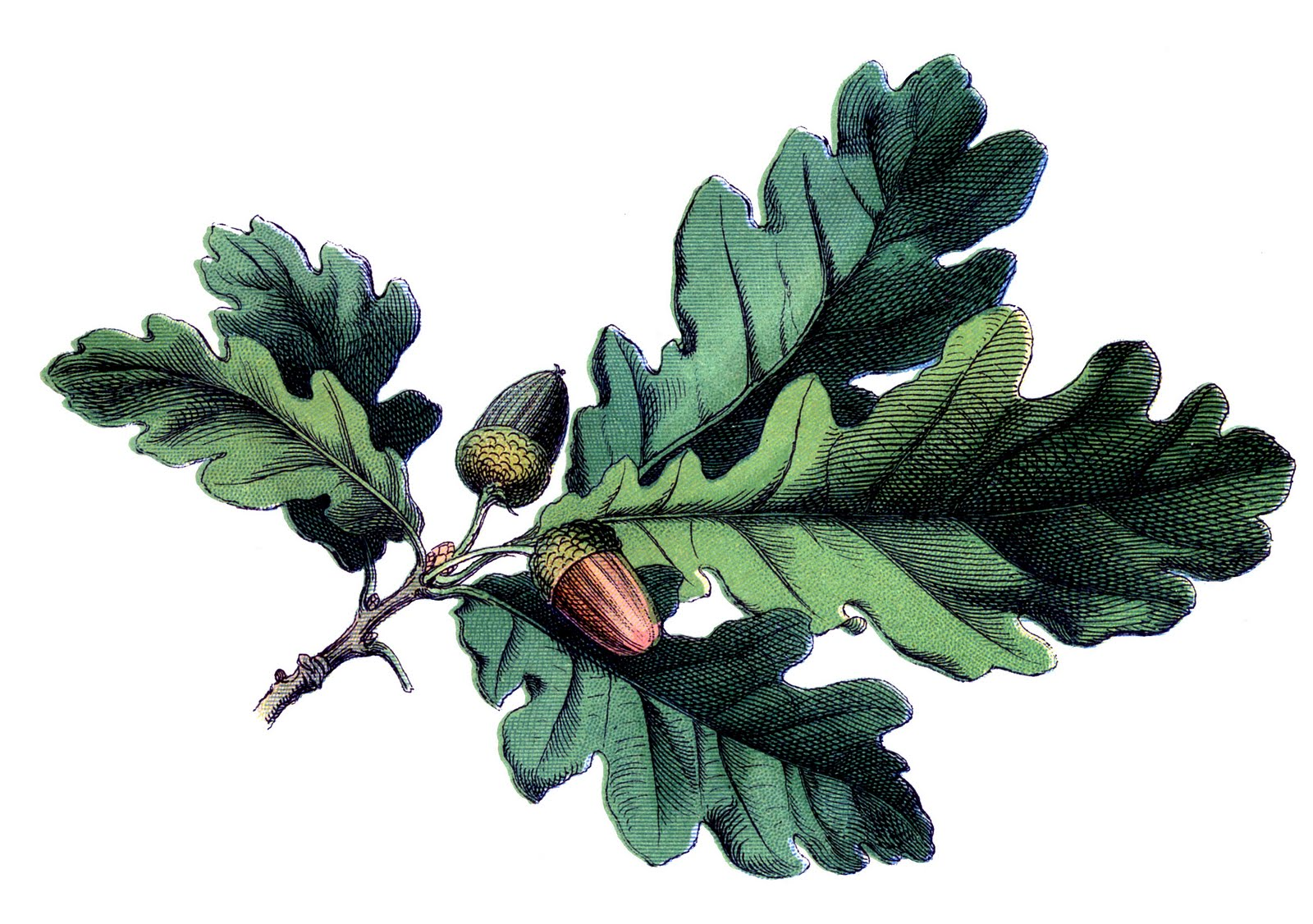1600x1126 Antique Botanical Image
