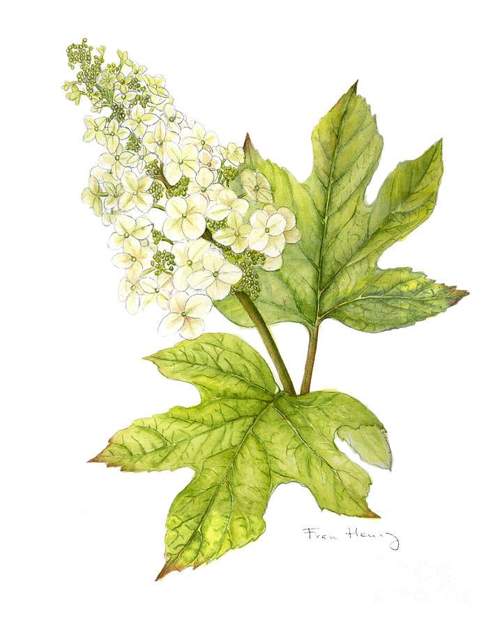 720x900 Oak Leaf Hydrangea Painting By Fran Henig