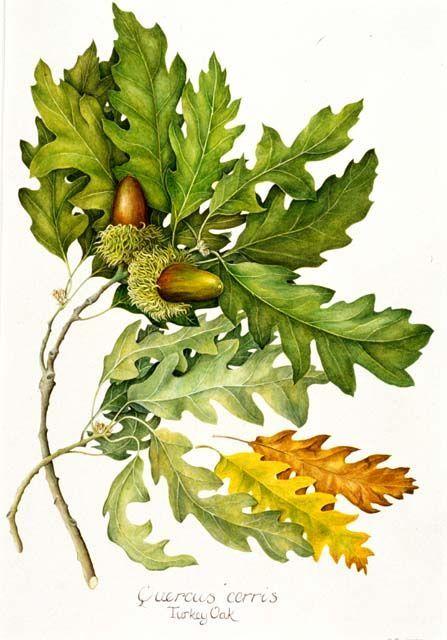 447x640 Botanical Illustrations Oak