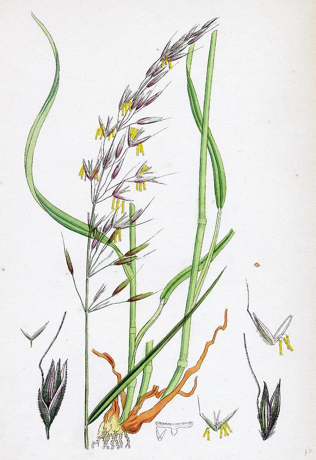 618x900 Avena Elatior False Oat Grass Drawing By English School