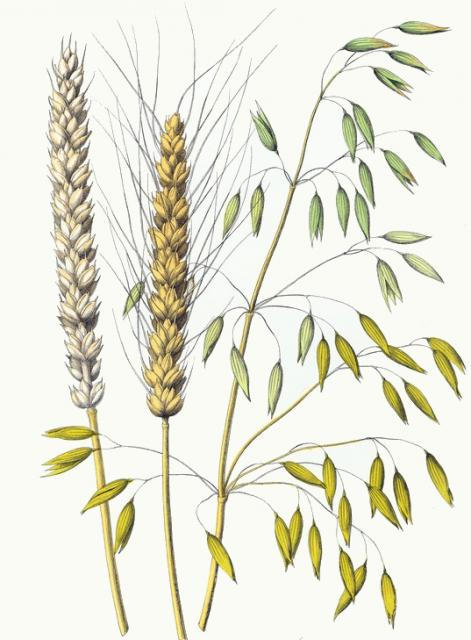 471x640 Colored Drawing Oat And Two Types Wheat. A Collection