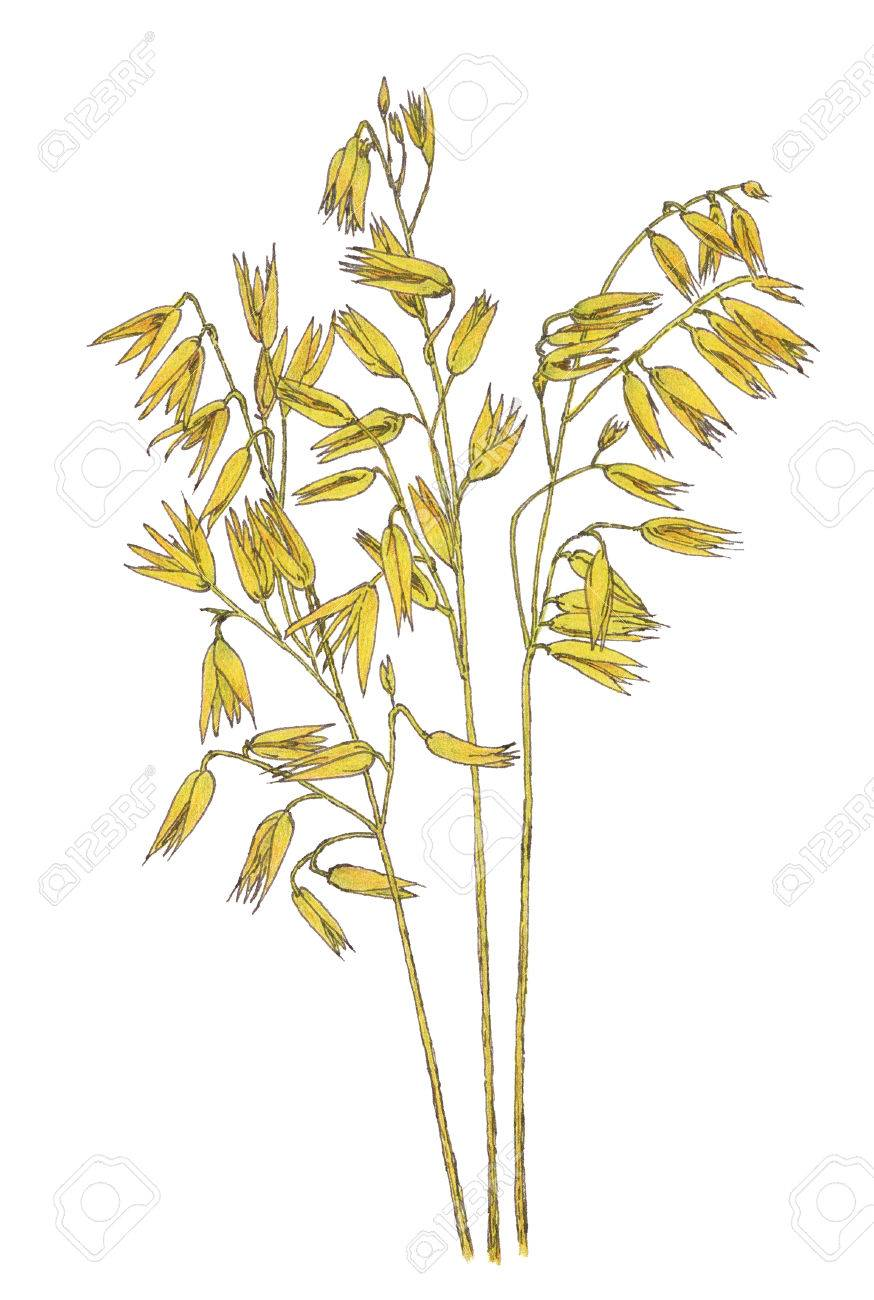 874x1300 Ears Of Common Oat (Avena Sativa) Botanical Drawing. Brown Ink