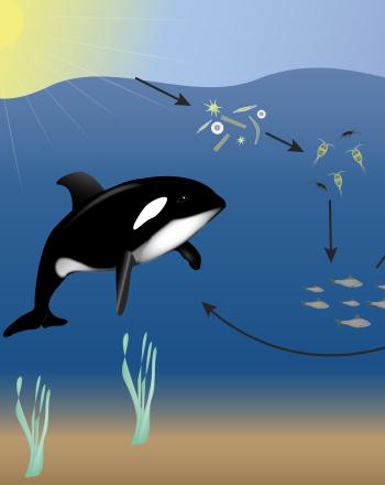 350x440 Ocean Food Web Science Project