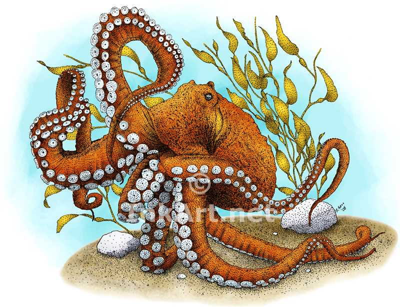800x614 Giant Pacific Octopus Stock Art Illustration