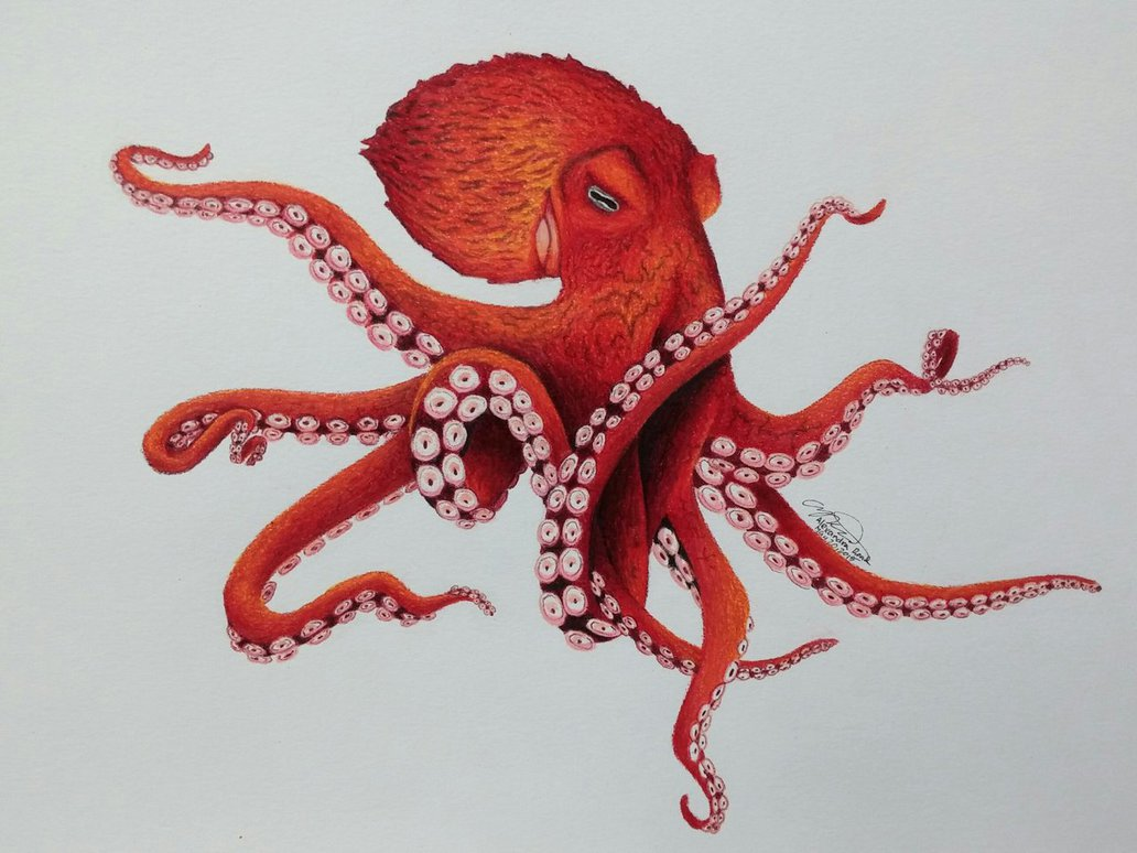1032x774 Pacific Bay Octopus By Drawerfun