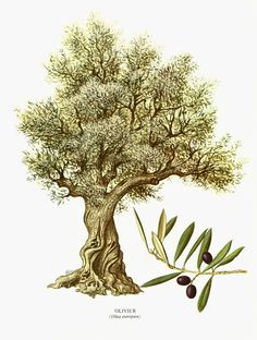 236x312 Olive Tree Drawing Pen And Ink Fine Art Print On Natural Paper