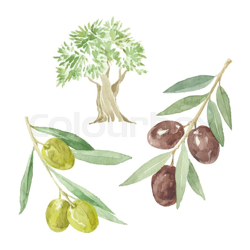 800x800 Olive Branches And Olive Tree Drawing By Watercolor. Hand Drawn