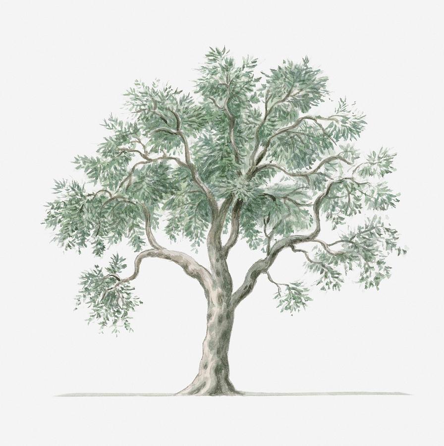 896x900 Illustration Showing Shape Of Olea Europea (Olive) Tree Bearing