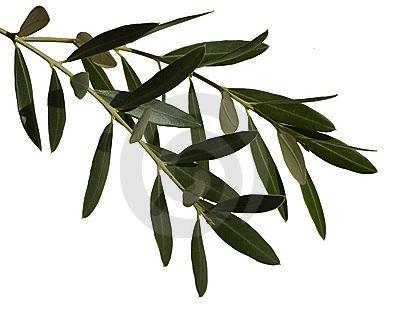 400x315 Olive Leaf Extract Nature's Antibiotic