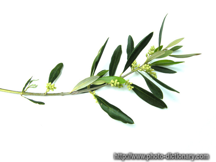 700x525 Olive Tree Amp Branch As Peace Monuments
