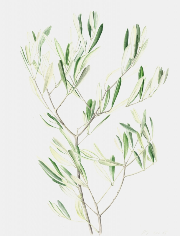 611x800 Young Olive Leaves