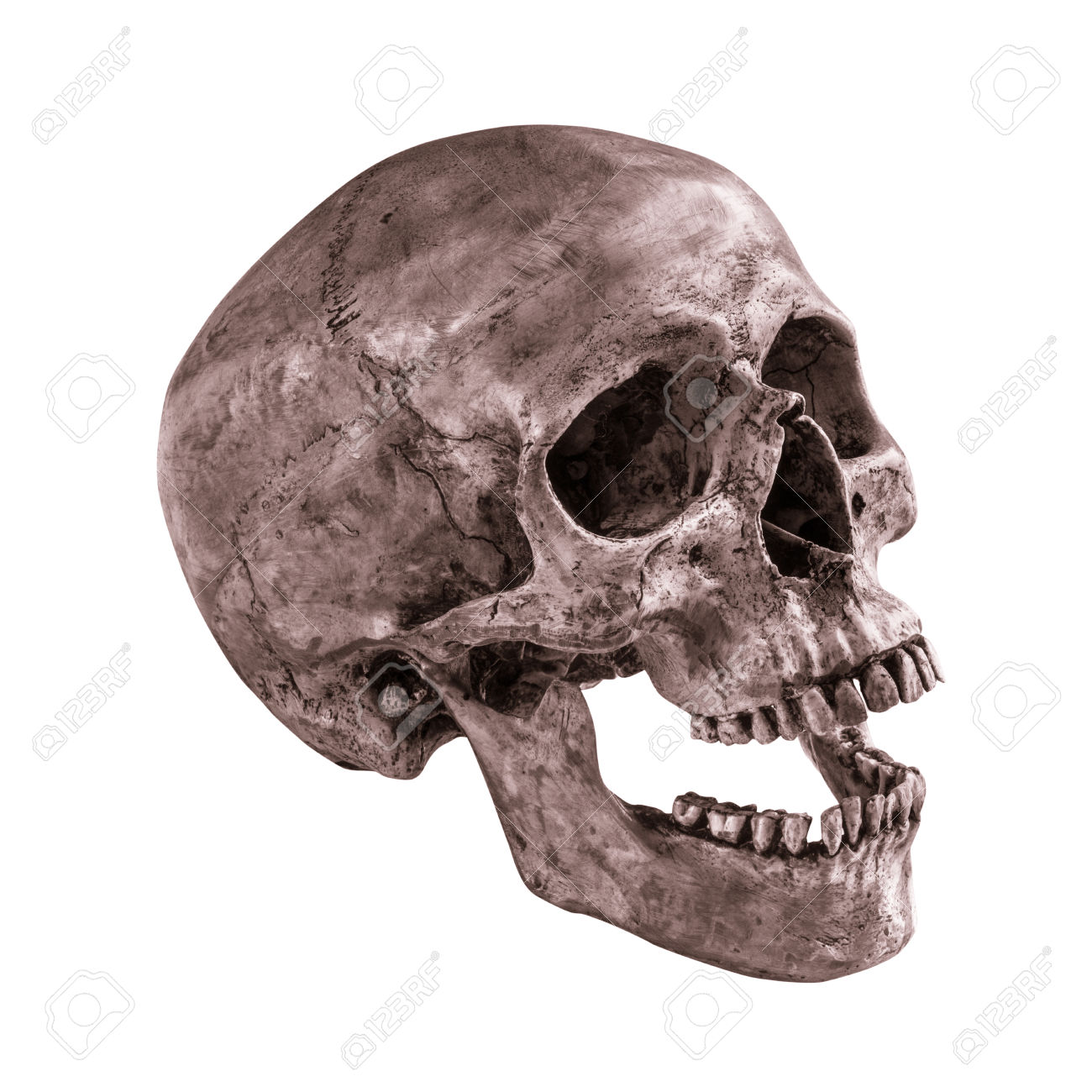 1300x1300 28216316 Sideview Of Human Skull Open Mouth On Isolated White