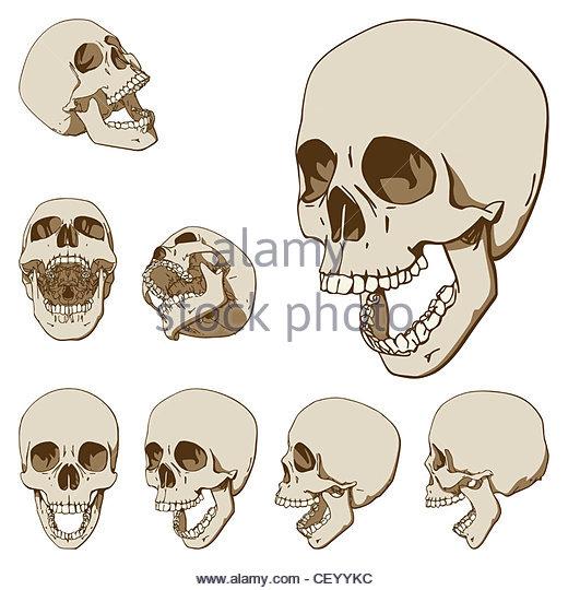 520x540 Head Skull Open Stock Photos Amp Head Skull Open Stock Images