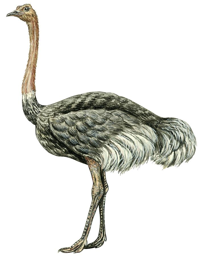 706x900 Common Ostrich Drawing By Anonymous
