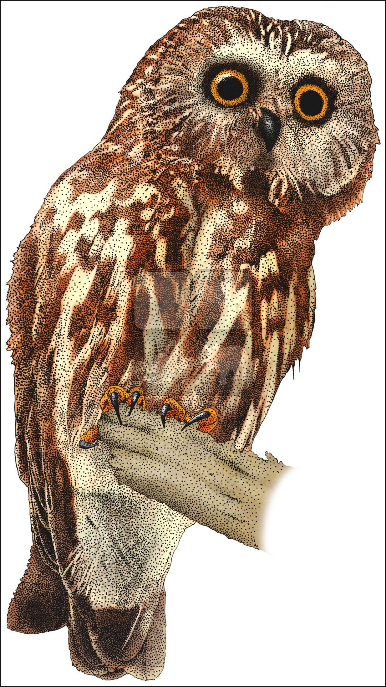 1234x2195 Northern Saw Whet Owl (Strix Occidentalis Caurina) Line Art
