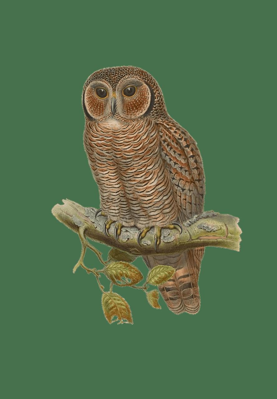 889x1280 Owl Drawing Transparent Png