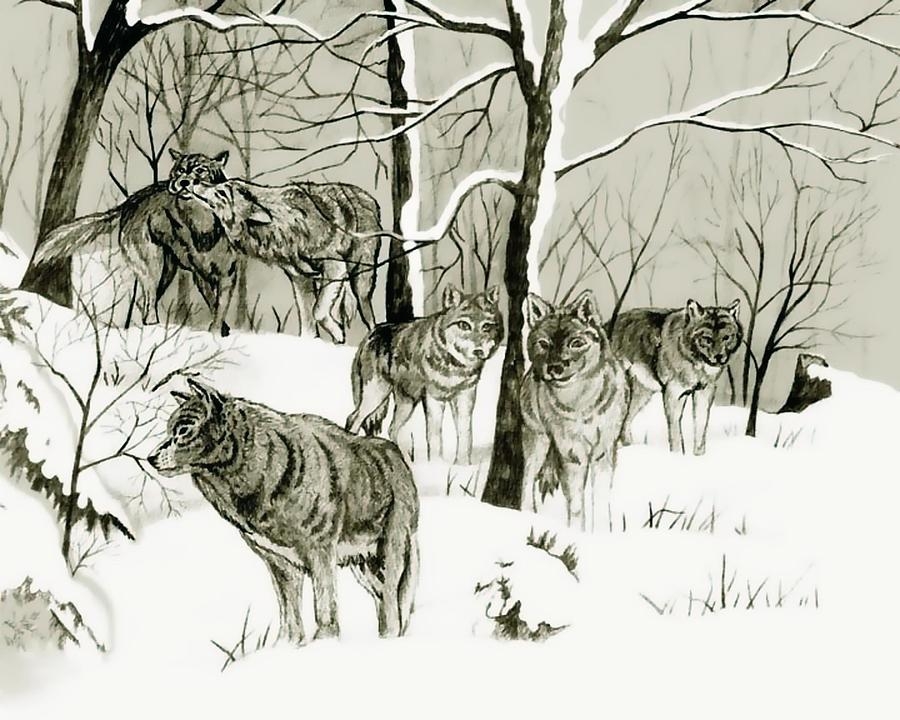 900x720 Timber Wolf Pack Drawing By Anthony Seeker