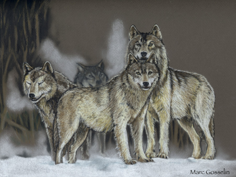 900x675 Wolf Pack, Closeup By Marcgosselin