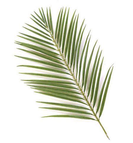 450x486 Palm Branch 2.jpg