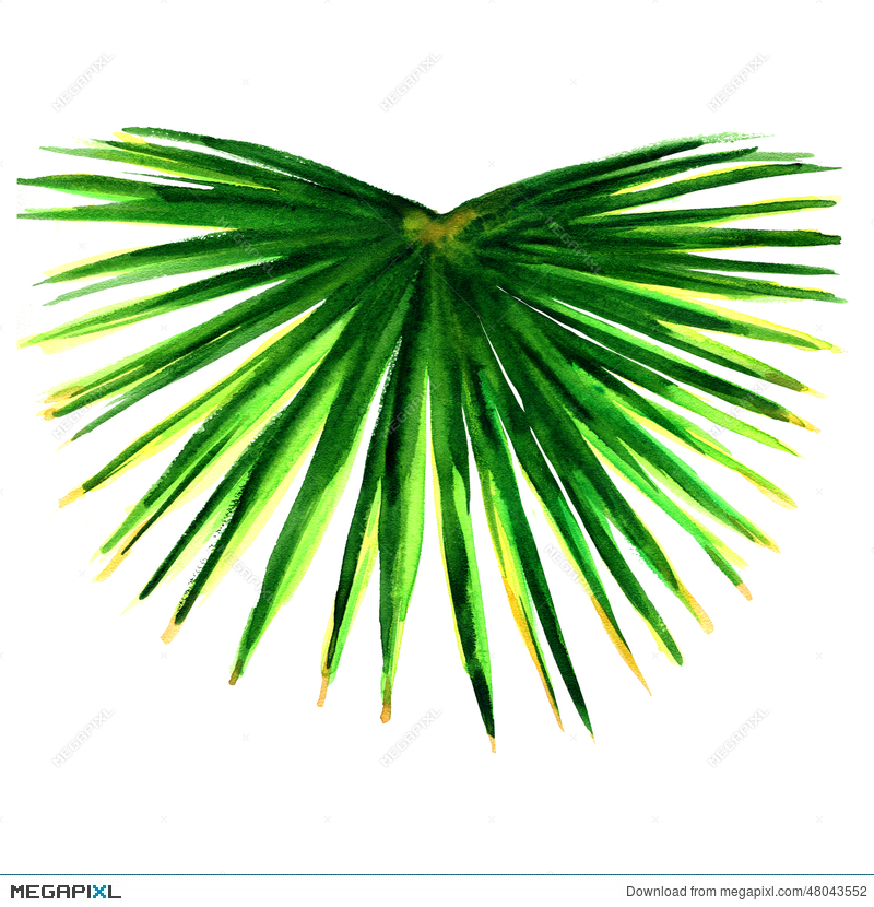 800x830 Single Green Palm Leaf Isolated Illustration 48043552