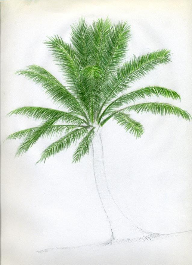638x878 Palm Tree Drawing Color Simple Living Tree In The World Places