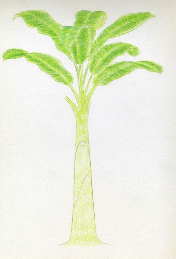 589x865 How To Draw Banana Tree