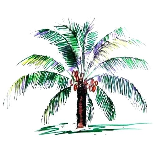 495x495 Palm Trees Drawings Coconut Palm Colored Drawing Palm Tree