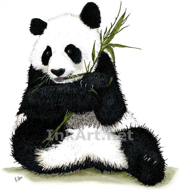 617x650 Giant Panda Stock Art Illustration