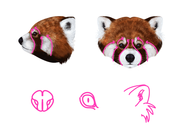 600x436 How To Draw Animals Red Pandas And Raccoons