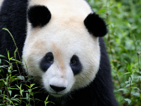473x355 Head Portrait Of A Giant Panda Bifengxia Giant Panda Breeding