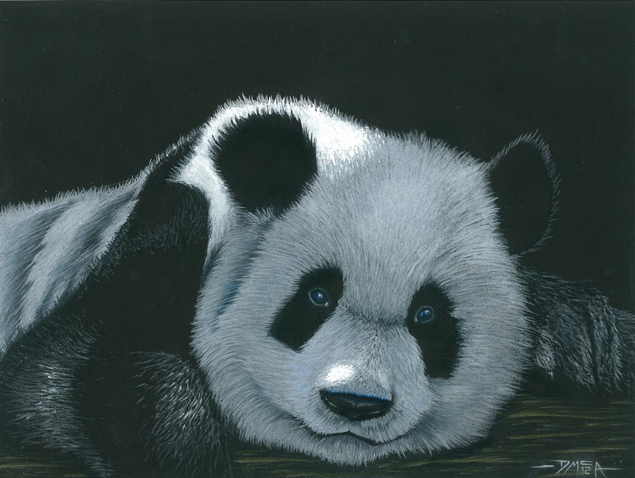 900x678 Panda In Colour Pencil And Acrylic By Dmcallister