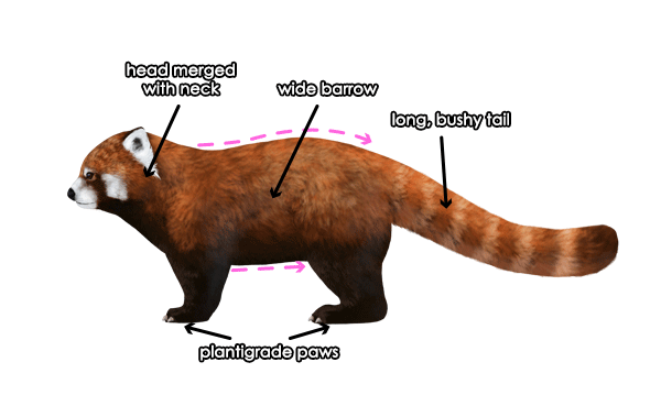 600x359 How To Draw Animals Red Pandas And Raccoons
