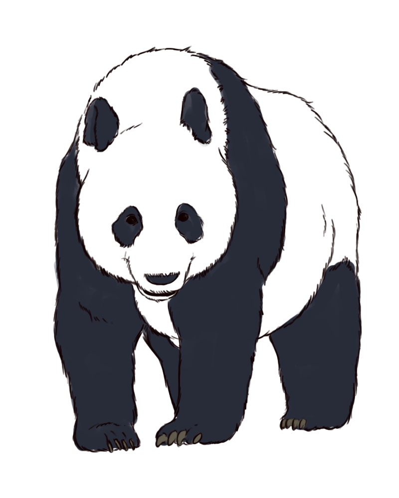 800x1000 Pandas Face Drawing Drawn Panda Realistic