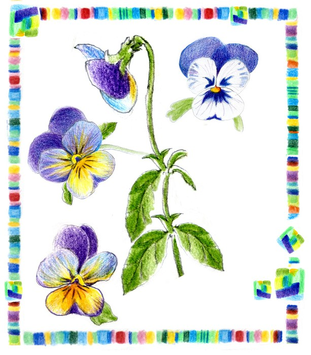 613x700 Freehand Drawing Pansy On Herbarium Card Sticker We