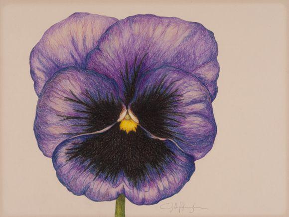 580x435 Pansies Flower Pencil Drawing Purple Pansy Drawing Purple Pansy