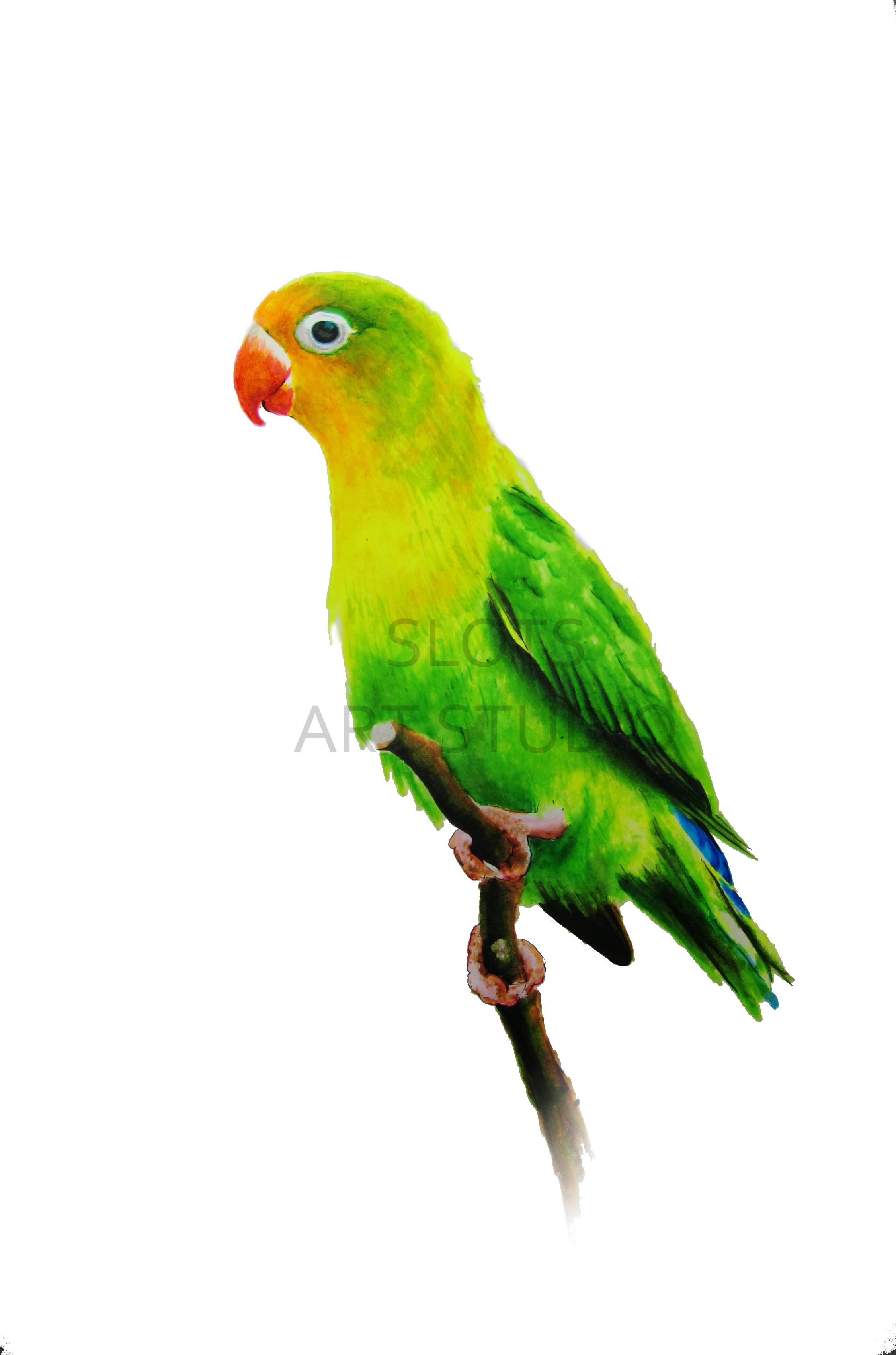 2251x3403 Fischer's Lovebird It Was Specifically Chosen To Make A Nice