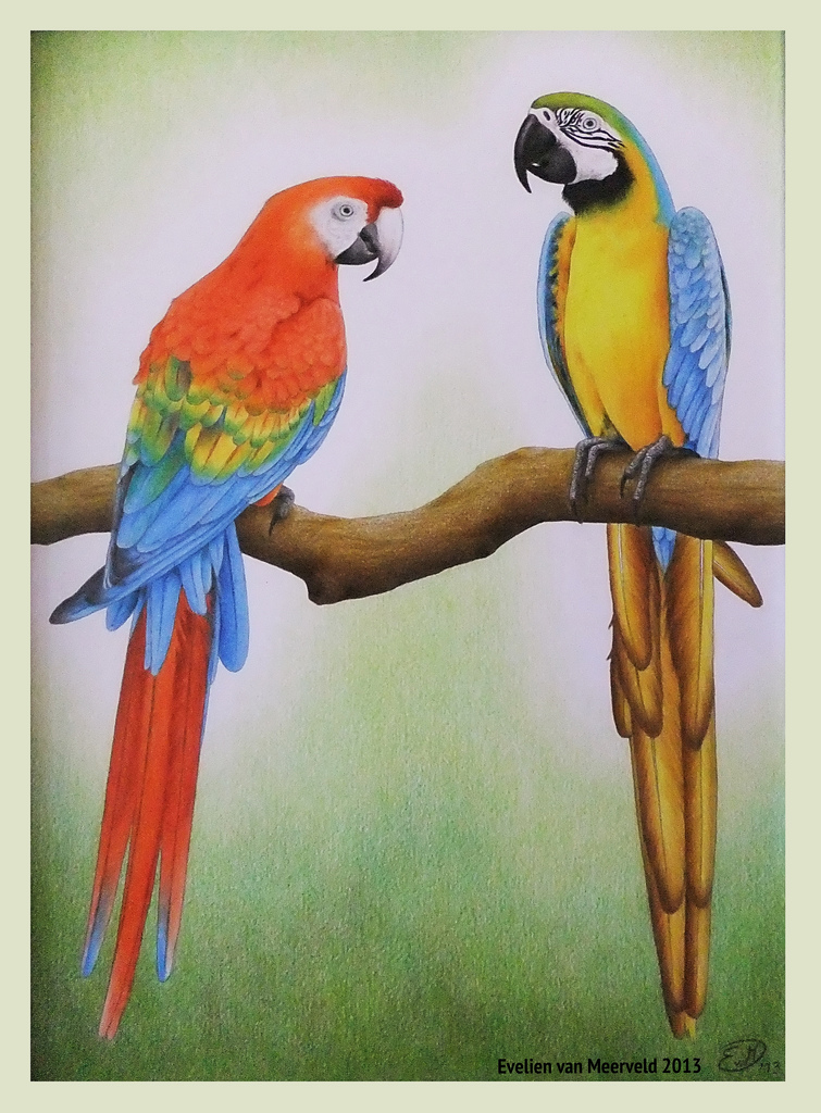 755x1024 Macaw Parrots Colour Pencil And Graphite Pencil Drawing.