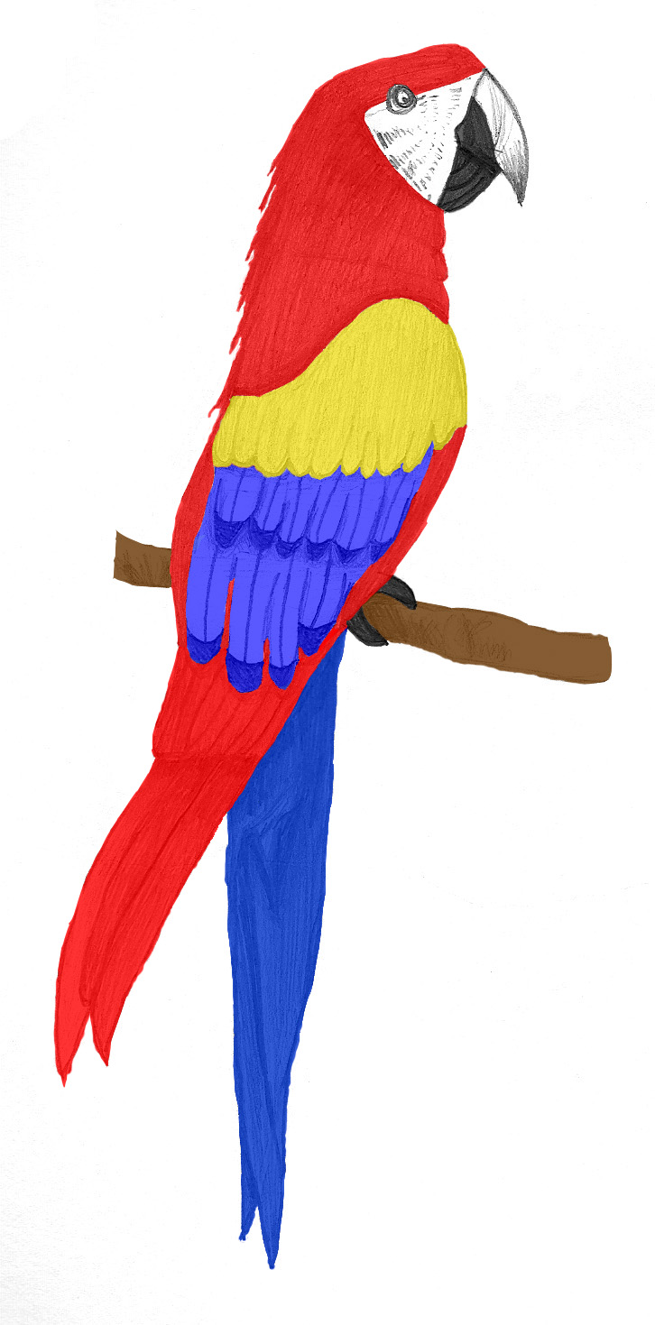 726x1469 Pictures Parrot Drawings Colored,