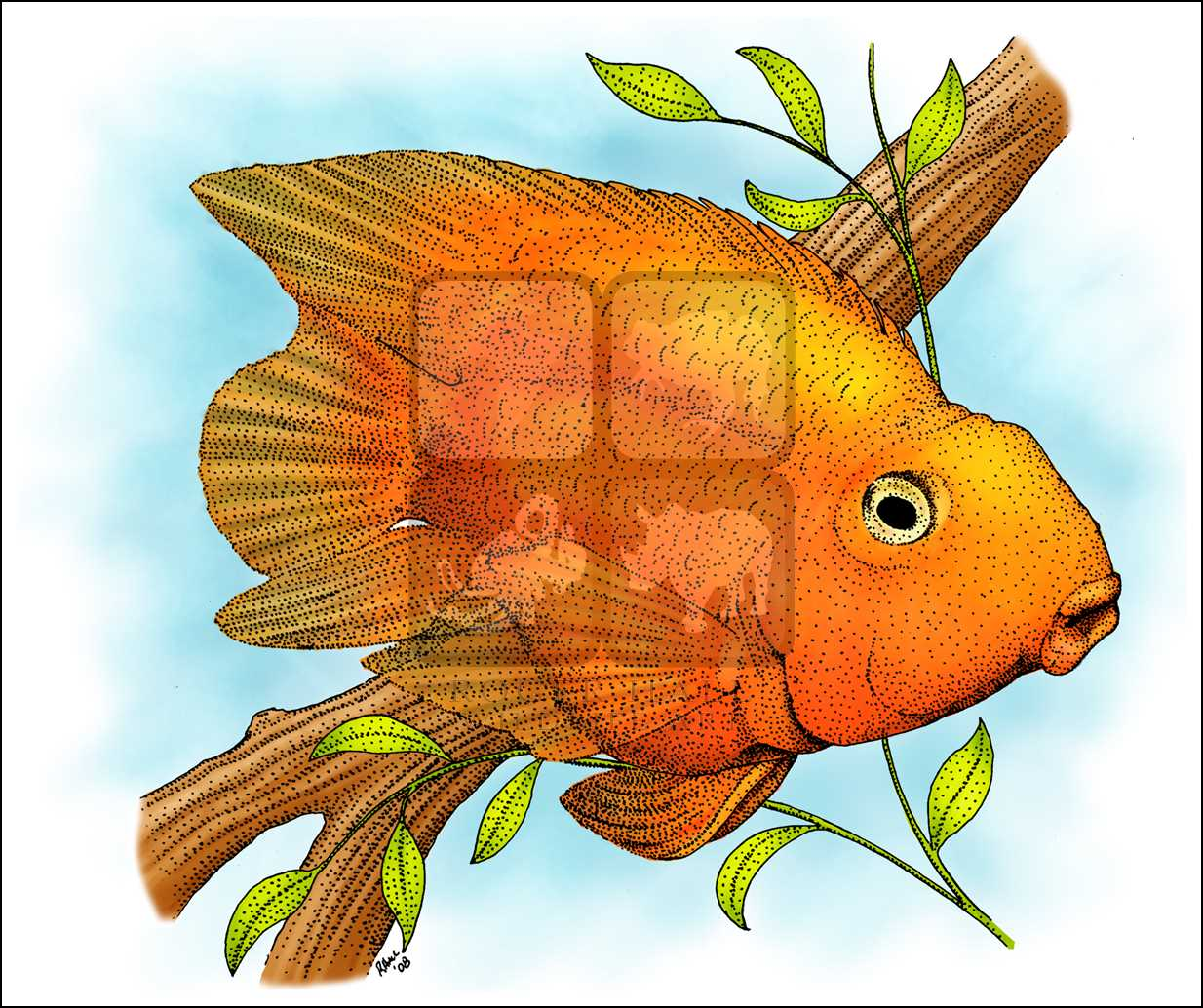 1234x1034 Blood Parrot Cichlid (No Latin Name) Line Art And Full Color