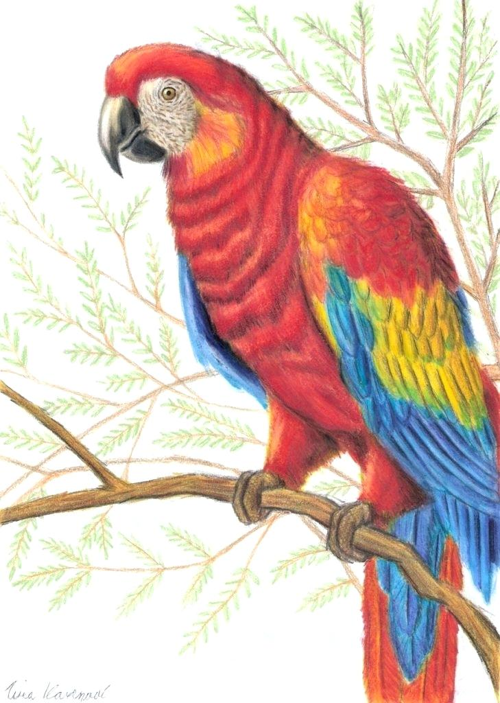 729x1024 Parrot Drawing Draw A Parrot Parrot Drawing With Colour