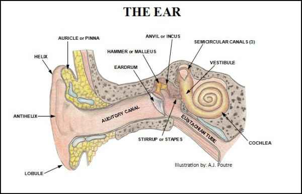 Parts of the ear drawing at getdrawings free for personal use 600x386 human ear diagram with label ccuart Choice Image