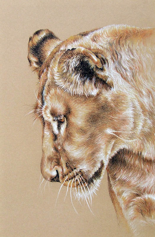 524x800 Lioness Drawing For Sale Portrait In Pastel Pencil