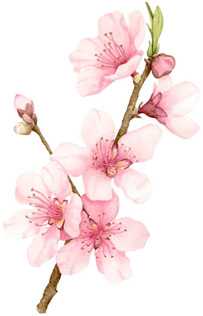 669x1040 All Sizes Peach Blossom