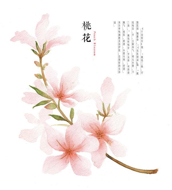 600x664 Hand Drawing Watercolor Plants Peach Blossom By Galoshining