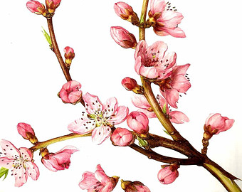 340x270 Illustrations Of Peach Tree Branches